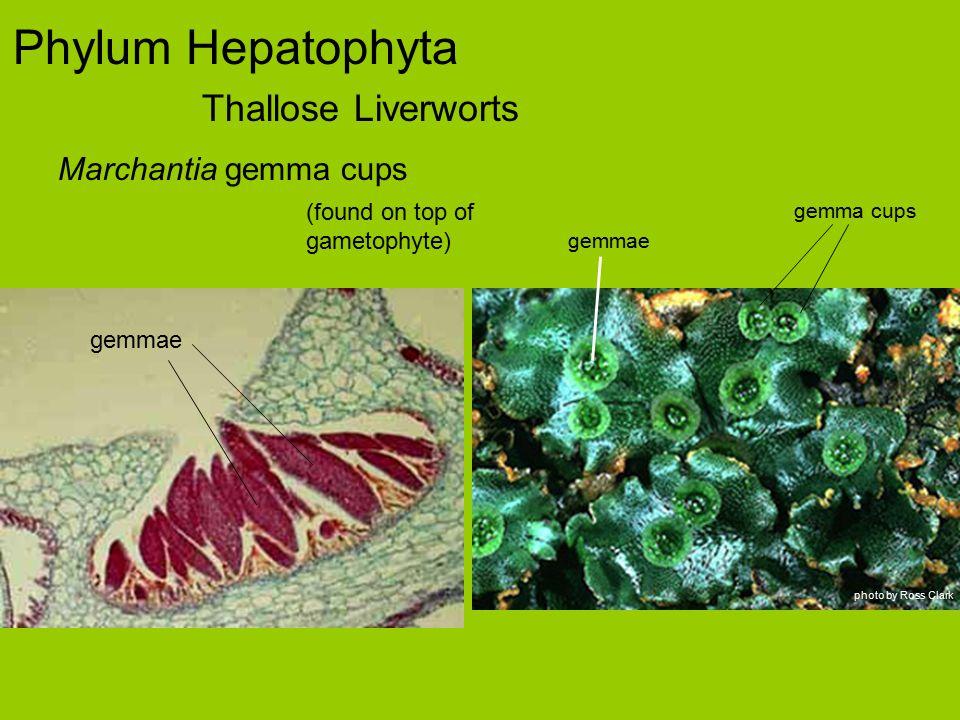 Phylum Hepatophyta Thallose Liverworts Marchantia gemma cups gemmae (found on top of gametophyte) gemma cups gemmae photo by Ross Clark