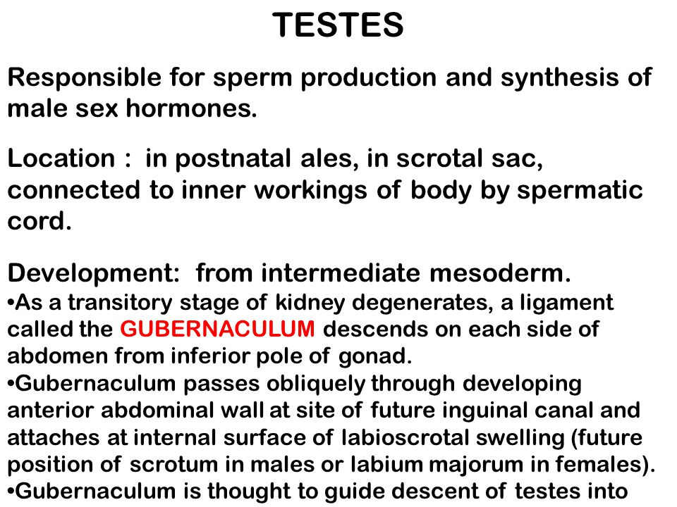 TESTES Responsible for sperm production and synthesis of male sex hormones.