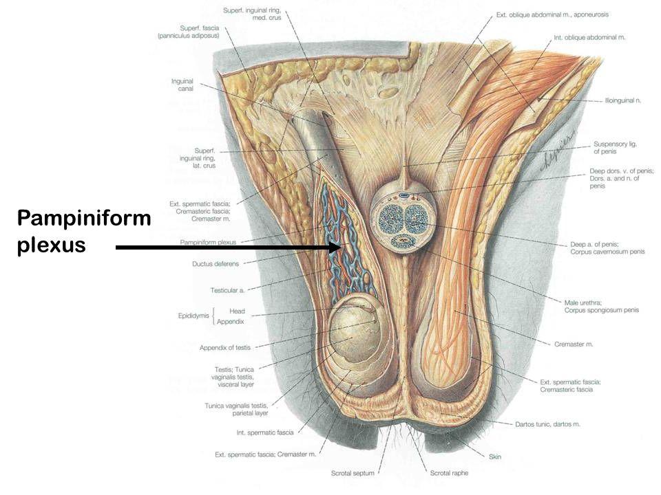 Pampiniform plexus
