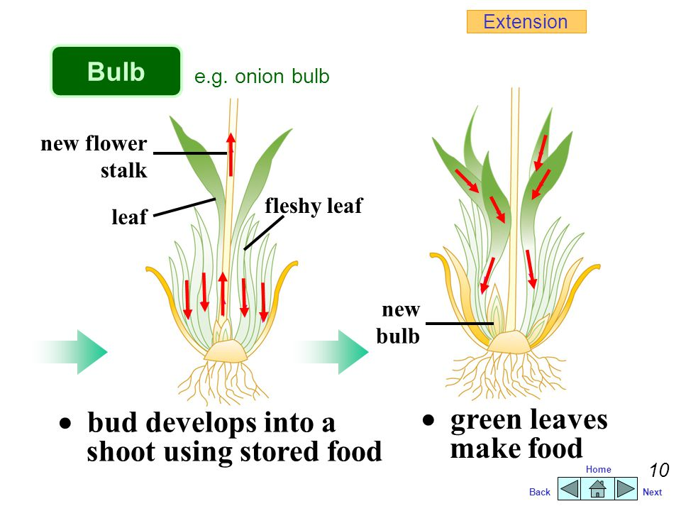 BackNext Home 9 fleshy scale leaf dry scale leaf bud Bulb  bulb remains dormant under unfavourable conditions e.g.