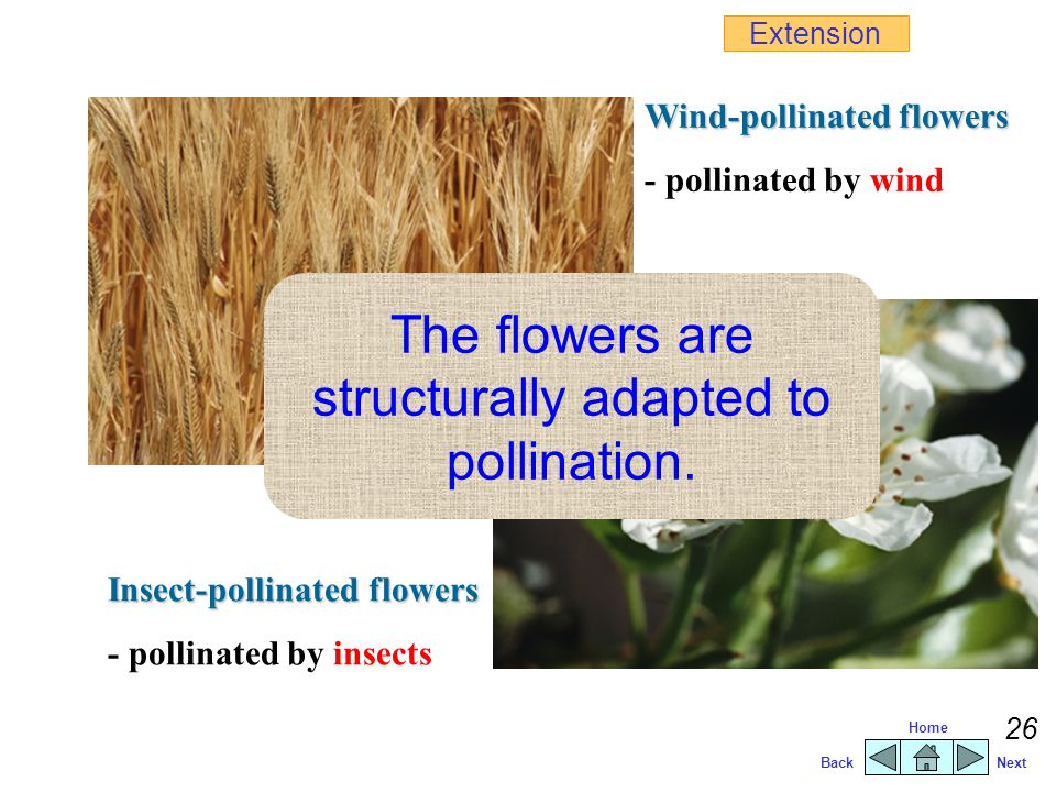 BackNext Home 25  transfer of pollen grains from anthers to stigmas  male gametes fertilize the ovules insect-pollinationwind-pollination Pollinatio