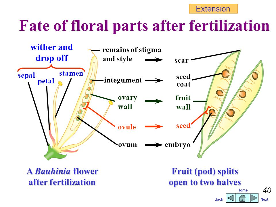 BackNext Home 39 The growth of pollen tube and fertilization flower stalk sepal style Extension Fertilization male gamete ovule micropyle ovary 5Male gamete fuses with female gamete to form a zygote.