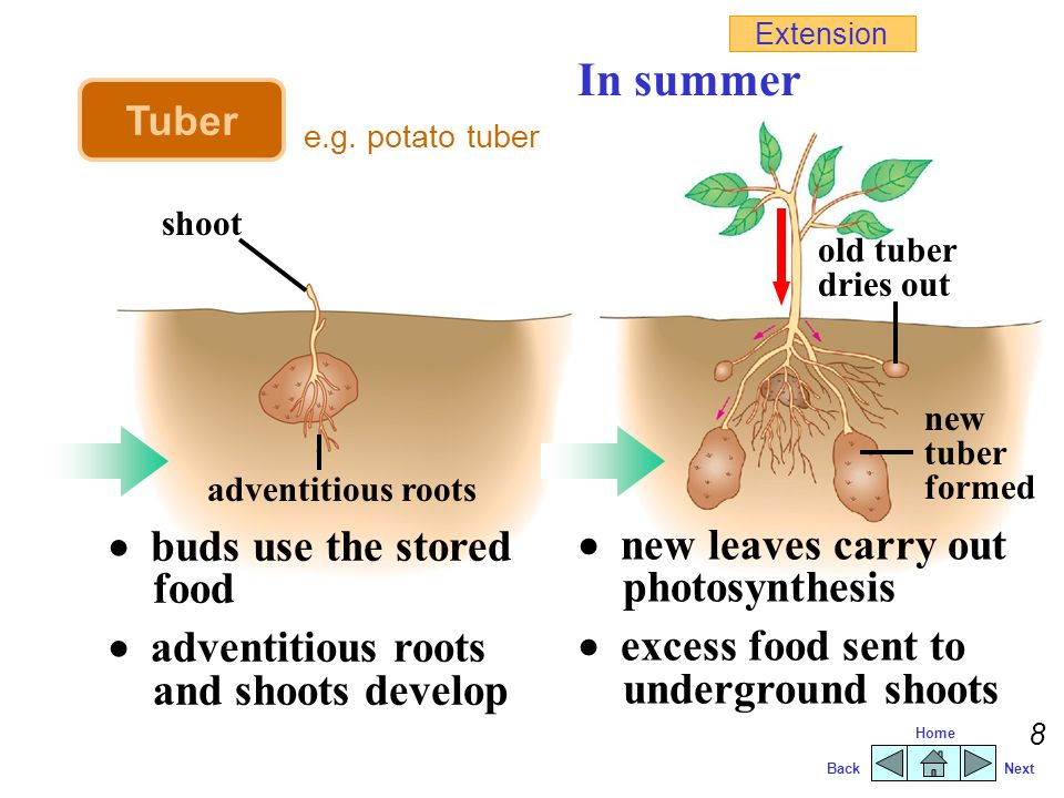BackNext Home 7 In winter  aerial shoots die  new tubers remain dormant  each bud grows into a new plant In spring Tuber e.g. potato tuber Extensio