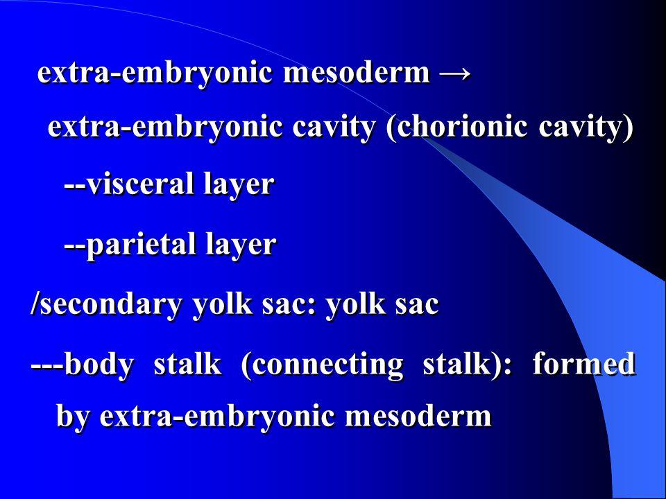 extra-embryonic mesoderm → extra-embryonic cavity (chorionic cavity) --visceral layer --parietal layer /secondary yolk sac: yolk sac ---body stalk (connecting stalk): formed by extra-embryonic mesoderm extra-embryonic mesoderm → extra-embryonic cavity (chorionic cavity) --visceral layer --parietal layer /secondary yolk sac: yolk sac ---body stalk (connecting stalk): formed by extra-embryonic mesoderm