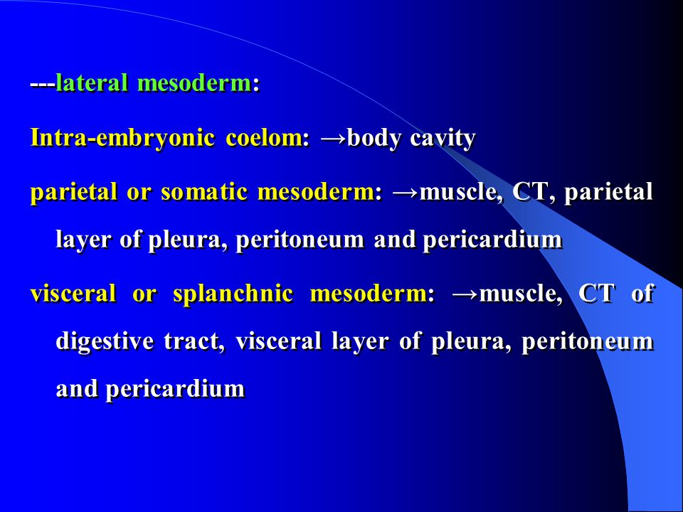 ---lateral mesoderm: Intra-embryonic coelom: →body cavity parietal or somatic mesoderm: →muscle, CT, parietal layer of pleura, peritoneum and pericardium visceral or splanchnic mesoderm: →muscle, CT of digestive tract, visceral layer of pleura, peritoneum and pericardium ---lateral mesoderm: Intra-embryonic coelom: →body cavity parietal or somatic mesoderm: →muscle, CT, parietal layer of pleura, peritoneum and pericardium visceral or splanchnic mesoderm: →muscle, CT of digestive tract, visceral layer of pleura, peritoneum and pericardium