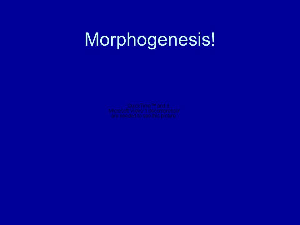 Morphogenesis!