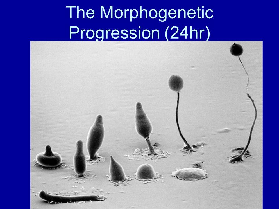 The Morphogenetic Progression (24hr)
