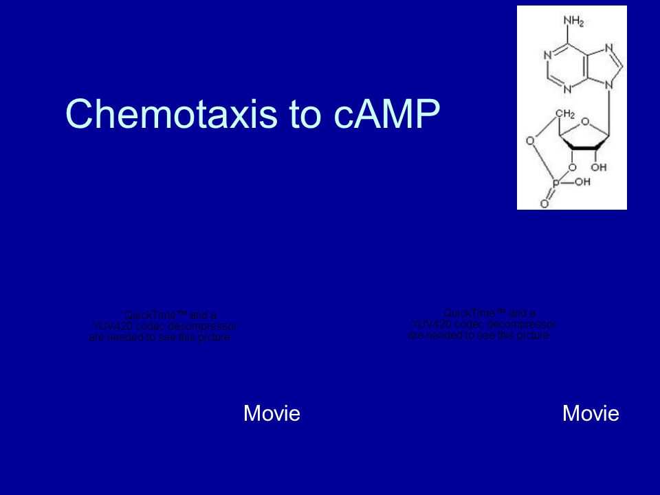 Chemotaxis to cAMP Movie