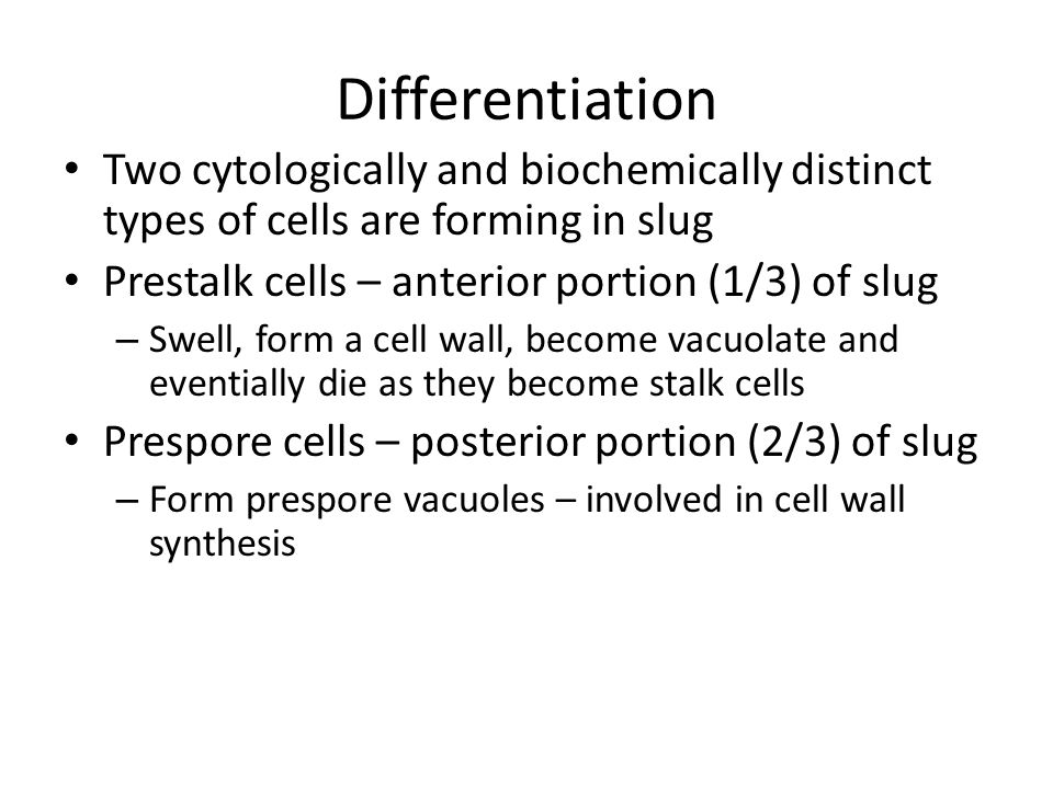 Differentiation Two cytologically and biochemically distinct types of cells are forming in slug Prestalk cells – anterior portion (1/3) of slug – Swel