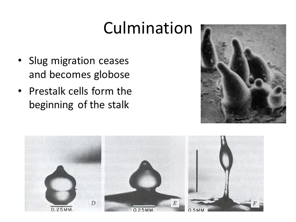 Culmination Slug migration ceases and becomes globose Prestalk cells form the beginning of the stalk