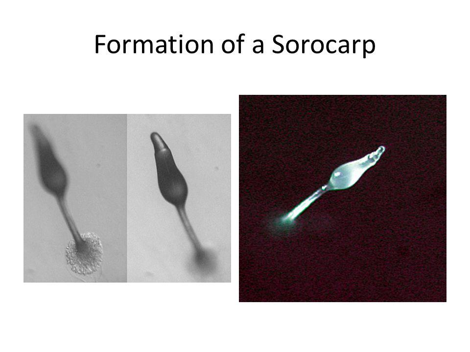 Formation of a Sorocarp