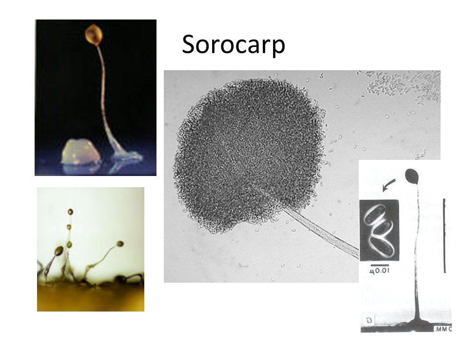 Sorocarp