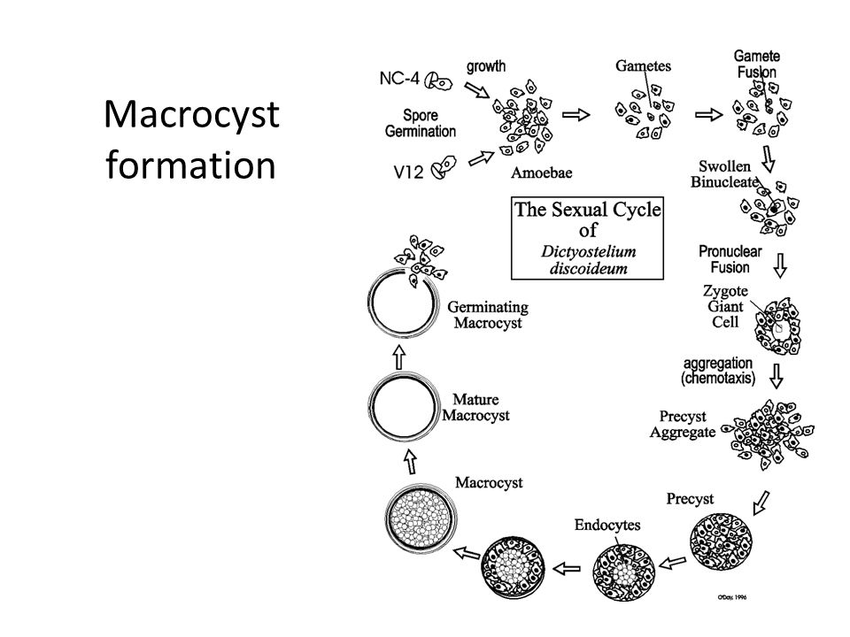 Macrocyst formation