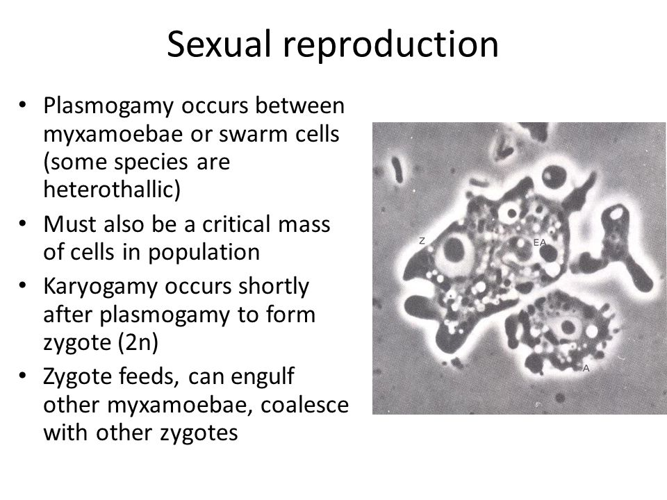 Sexual reproduction Plasmogamy occurs between myxamoebae or swarm cells (some species are heterothallic) Must also be a critical mass of cells in population Karyogamy occurs shortly after plasmogamy to form zygote (2n) Zygote feeds, can engulf other myxamoebae, coalesce with other zygotes