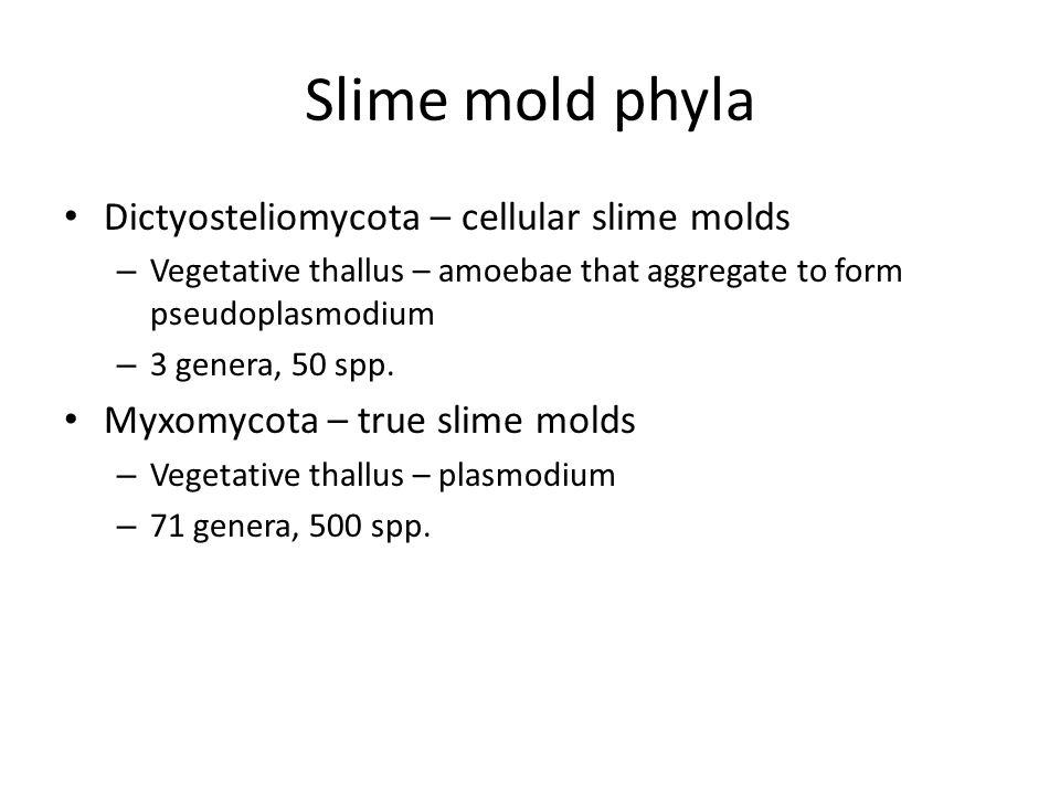 Slime mold phyla Dictyosteliomycota – cellular slime molds – Vegetative thallus – amoebae that aggregate to form pseudoplasmodium – 3 genera, 50 spp.