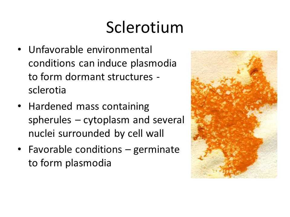 Sclerotium Unfavorable environmental conditions can induce plasmodia to form dormant structures - sclerotia Hardened mass containing spherules – cytoplasm and several nuclei surrounded by cell wall Favorable conditions – germinate to form plasmodia