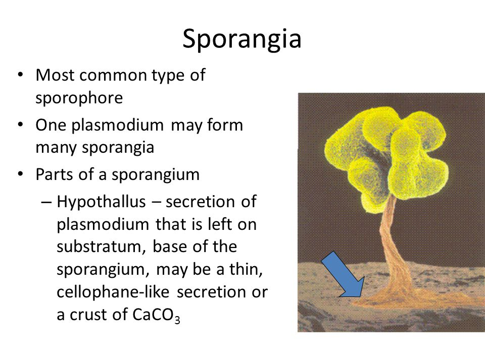 Sporangia Most common type of sporophore One plasmodium may form many sporangia Parts of a sporangium – Hypothallus – secretion of plasmodium that is left on substratum, base of the sporangium, may be a thin, cellophane-like secretion or a crust of CaCO 3