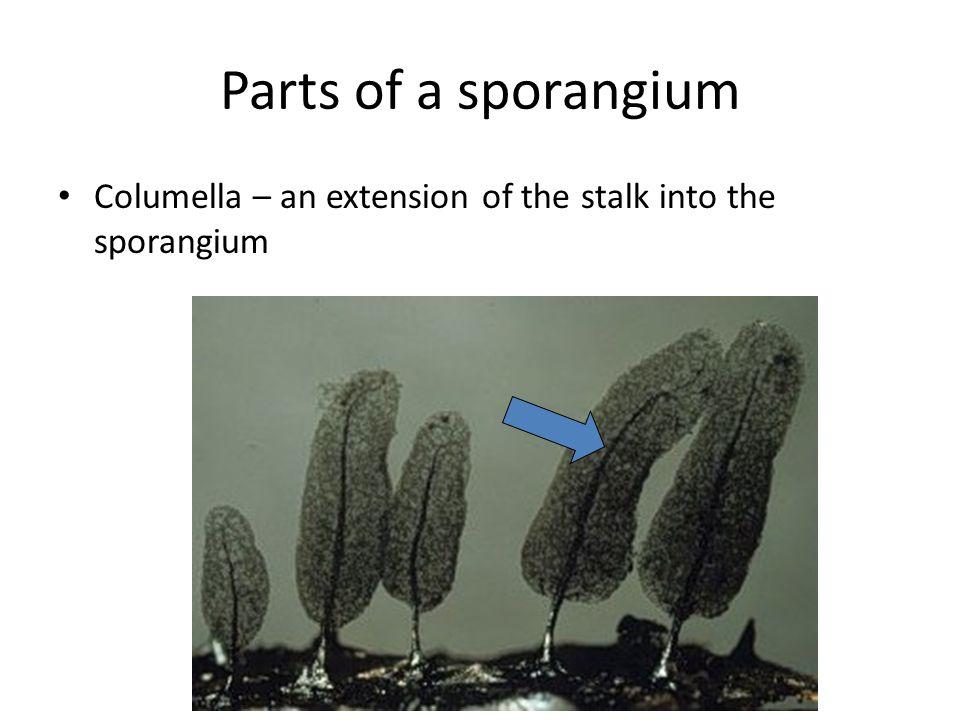 Parts of a sporangium Columella – an extension of the stalk into the sporangium