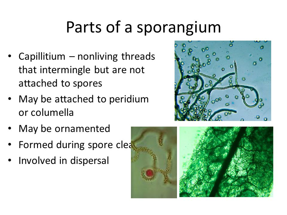 Parts of a sporangium Capillitium – nonliving threads that intermingle but are not attached to spores May be attached to peridium or columella May be