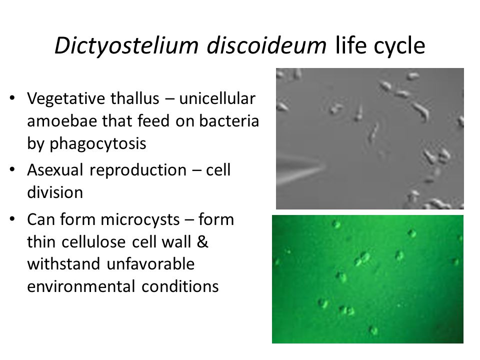 Dictyostelium discoideum life cycle Vegetative thallus – unicellular amoebae that feed on bacteria by phagocytosis Asexual reproduction – cell division Can form microcysts – form thin cellulose cell wall & withstand unfavorable environmental conditions
