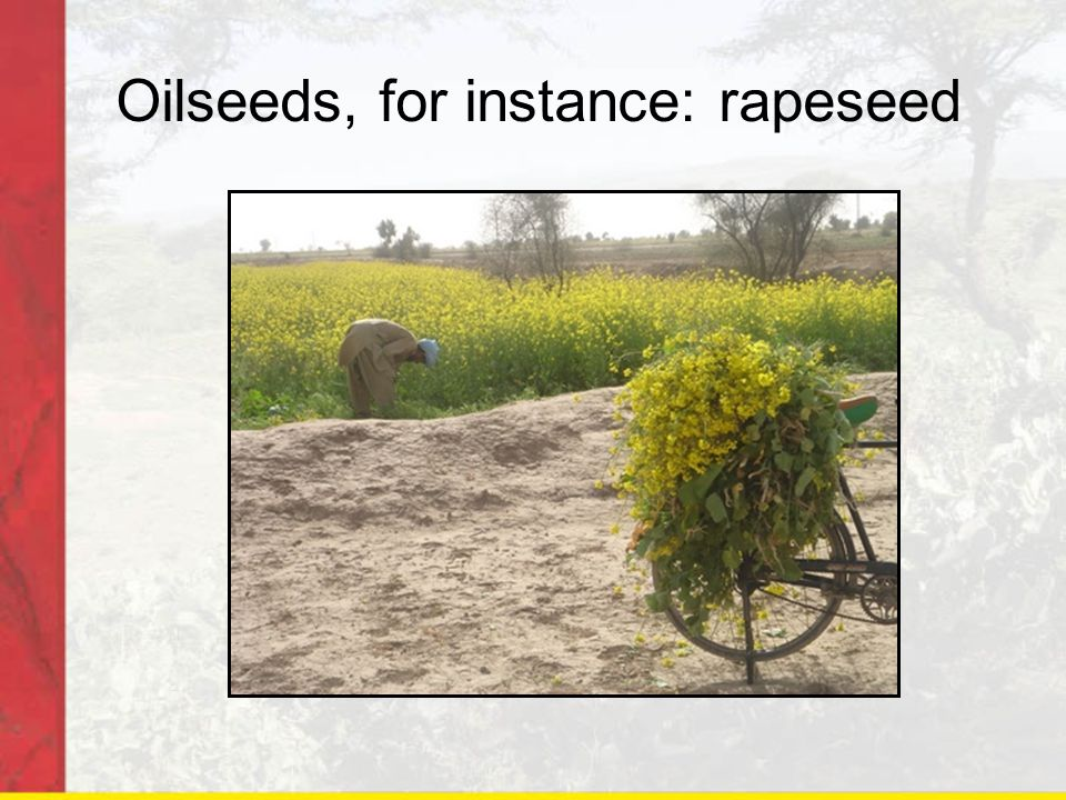 Oilseeds, for instance: rapeseed