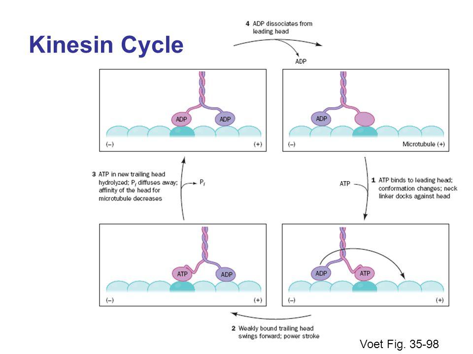 Voet Fig. 35-98 Kinesin Cycle