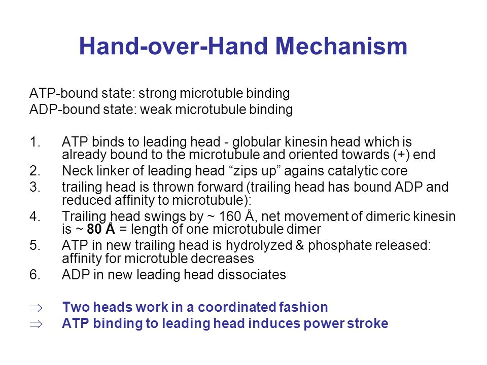 Hand-over-Hand Mechanism ATP-bound state: strong microtuble binding ADP-bound state: weak microtubule binding 1.ATP binds to leading head - globular k