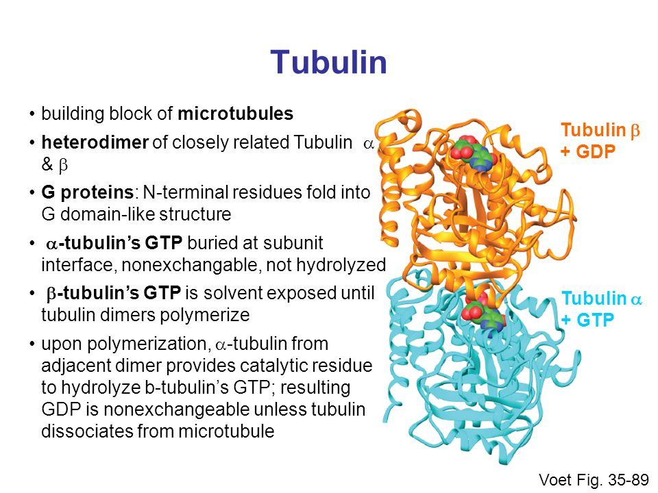 Tubulin Voet Fig. 35-89 Tubulin  + GTP Tubulin  + GDP building block of microtubules heterodimer of closely related Tubulin  &  G proteins: N-te