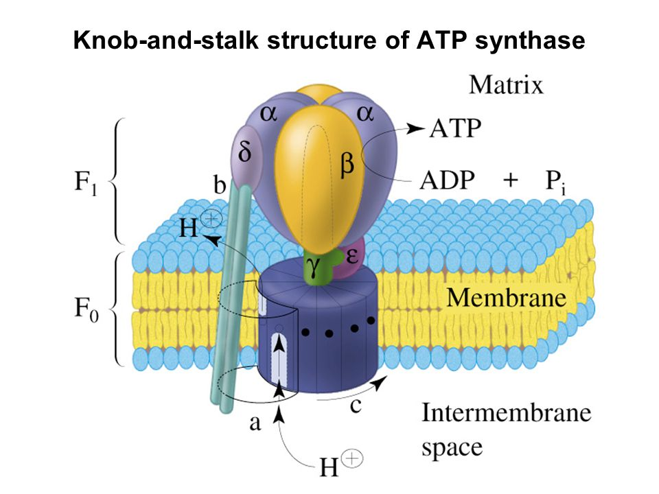 Prentice Hall c2002Chapter 1419 Knob-and-stalk structure of ATP synthase