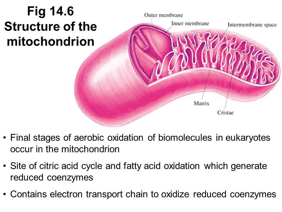 Final stages of aerobic oxidation of biomolecules in eukaryotes occur in the mitochondrion Site of citric acid cycle and fatty acid oxidation which generate reduced coenzymes Contains electron transport chain to oxidize reduced coenzymes Fig 14.6 Structure of the mitochondrion