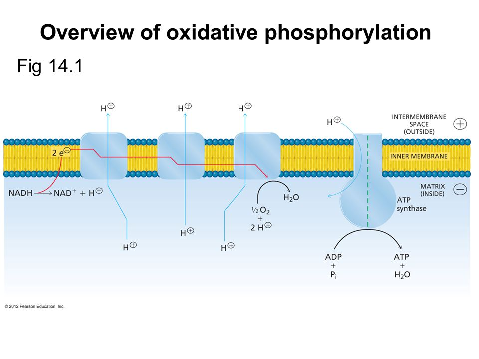 Overview of oxidative phosphorylation Fig 14.1