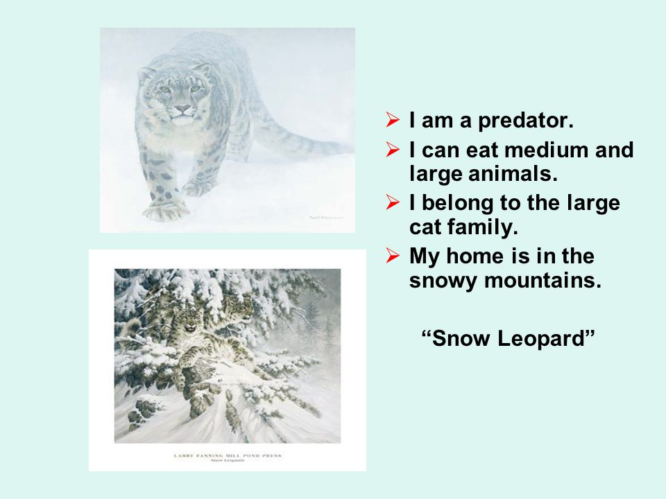  I am a predator.  I can eat medium and large animals.  I belong to the large cat family.  My home is in the snowy mountains.