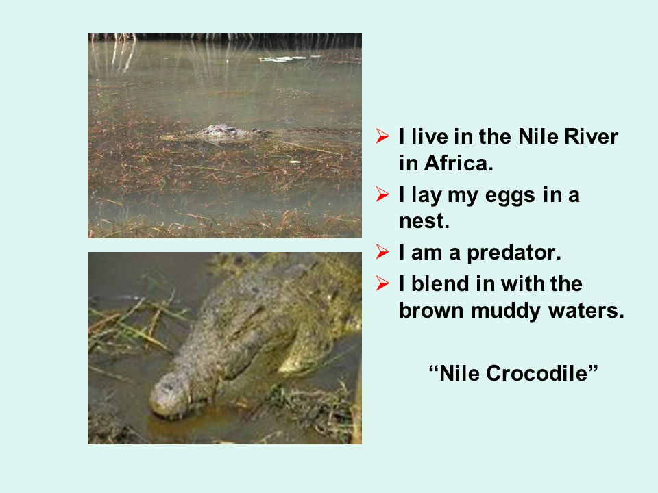  I live in the Nile River in Africa.  I lay my eggs in a nest.  I am a predator.  I blend in with the brown muddy waters.