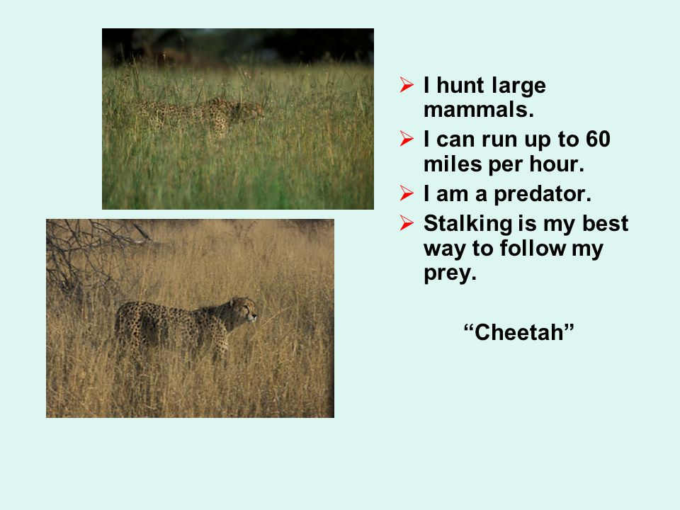  I hunt large mammals.  I can run up to 60 miles per hour.  I am a predator.  Stalking is my best way to follow my prey.