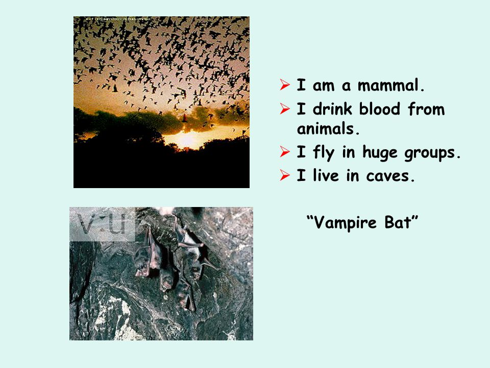  I am a mammal.  I drink blood from animals.  I fly in huge groups.  I live in caves.