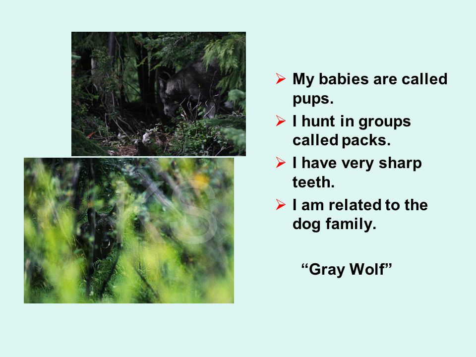  My babies are called pups.  I hunt in groups called packs.  I have very sharp teeth.  I am related to the dog family.