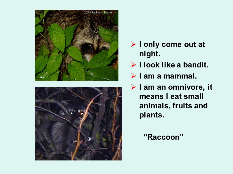  I only come out at night.  I look like a bandit.  I am a mammal.  I am an omnivore, it means I eat small animals, fruits and plants.