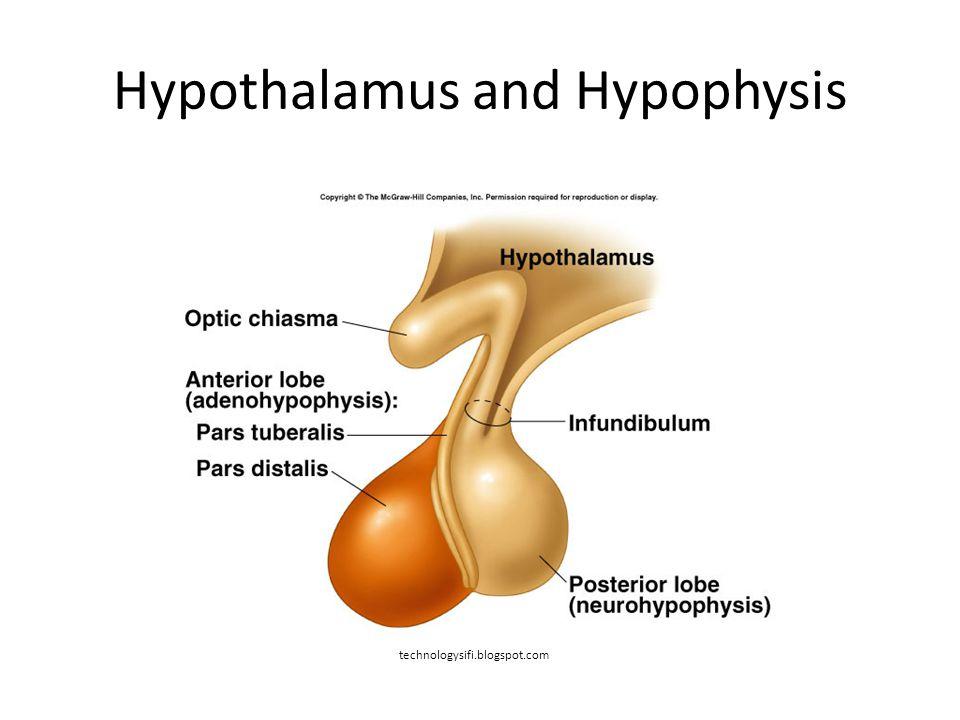 Hypothalamus and Hypophysis technologysifi.blogspot.com