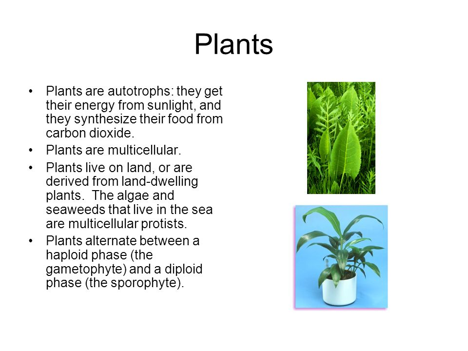 Plants Plants are autotrophs: they get their energy from sunlight, and they synthesize their food from carbon dioxide. Plants are multicellular. Plant