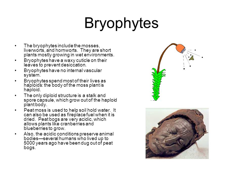 Bryophytes The bryophytes include the mosses, liverworts, and hornworts. They are short plants mostly growing in wet environments. Bryophytes have a w