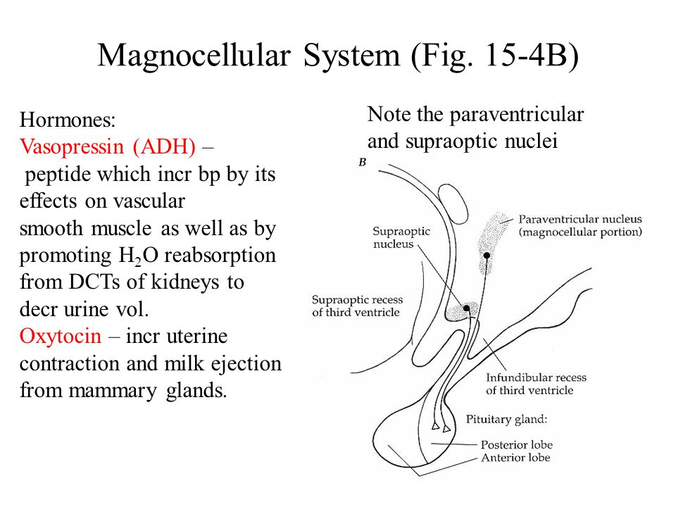 Magnocellular System (Fig. 15-4B) Note the paraventricular and supraoptic nuclei Hormones: Vasopressin (ADH) – peptide which incr bp by its effects on
