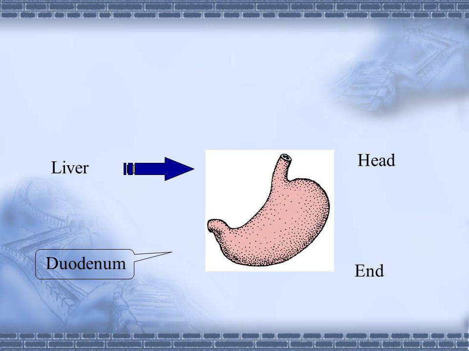 Dorsal mesogastrium Right Ventral mesogastrium Left