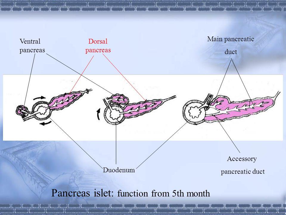 Dorsal pancreas Ventral pancreas