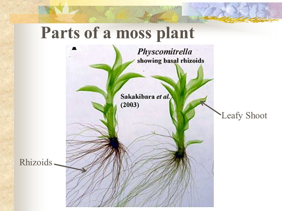 Parts of a moss plant Leafy Shoot Rhizoids