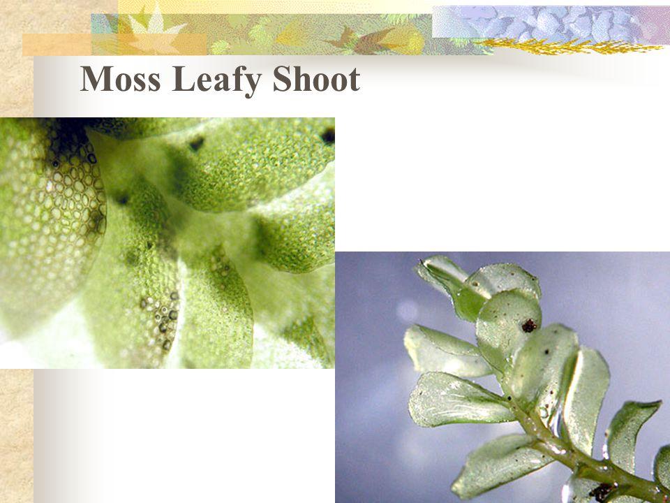 Moss Leafy Shoot
