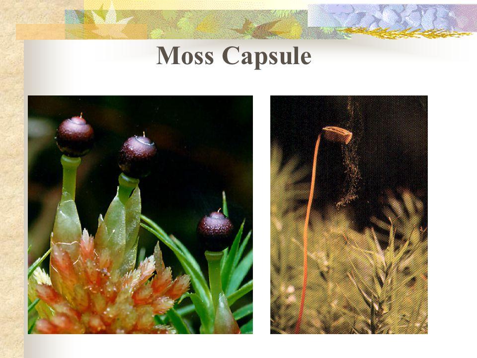 Moss Capsule