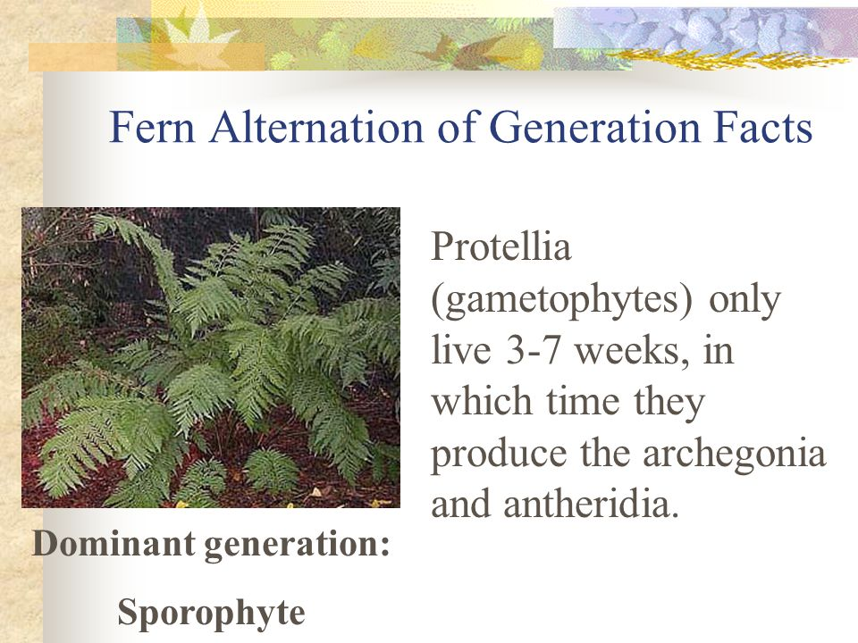 Fern Alternation of Generation Facts Protellia (gametophytes) only live 3-7 weeks, in which time they produce the archegonia and antheridia.
