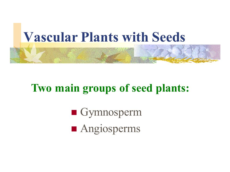 Vascular Plants with Seeds Gymnosperm Angiosperms Two main groups of seed plants:
