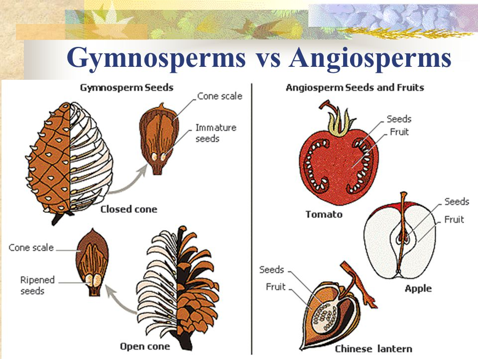 Gymnosperms vs Angiosperms