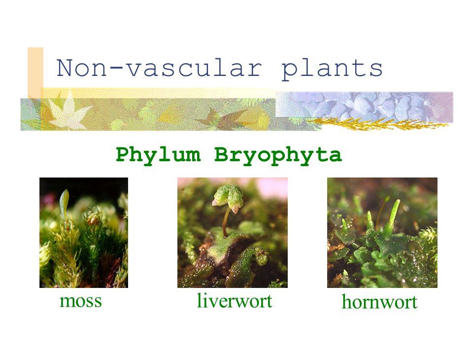 Non-vascular plants Phylum Bryophyta moss liverwort hornwort